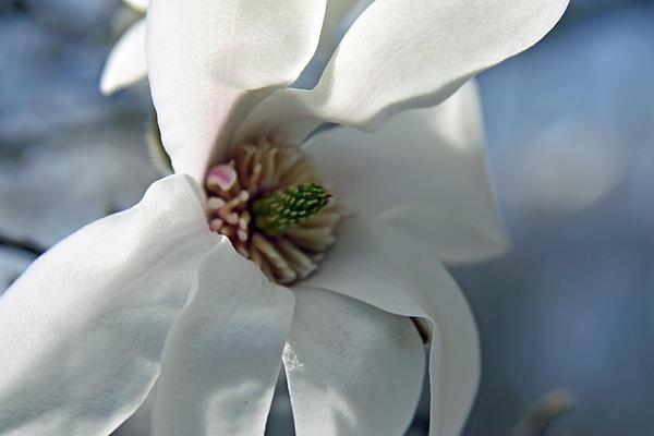 Magnolia In Watercolor Print by Carolyn Stagger Cokley