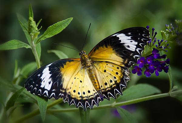 Malay Lacewing Butterfly  Print by Saija  Lehtonen
