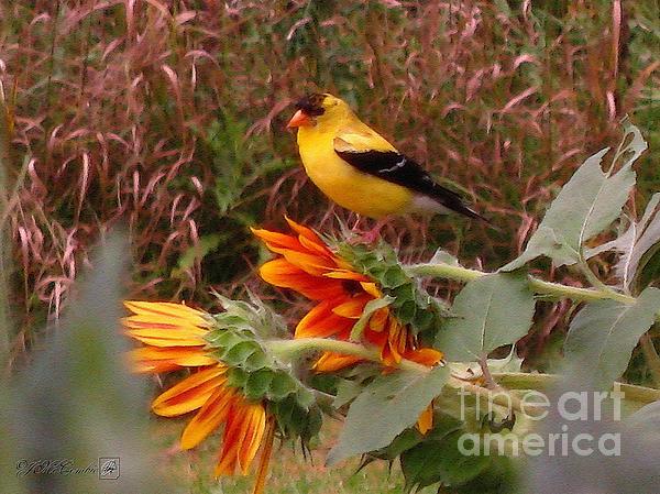 J McCombie - Male American Goldfinch