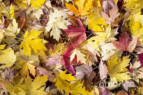 Maple Leaves Print by Steven Ralser