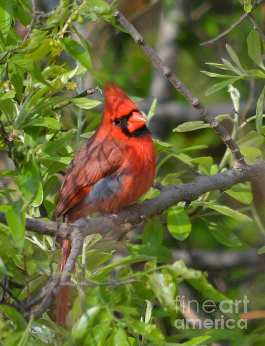 Ruth  Housley - Northern Male Cardinal