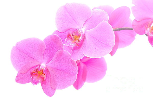 Orchid Isolated Print by Michal Bednarek