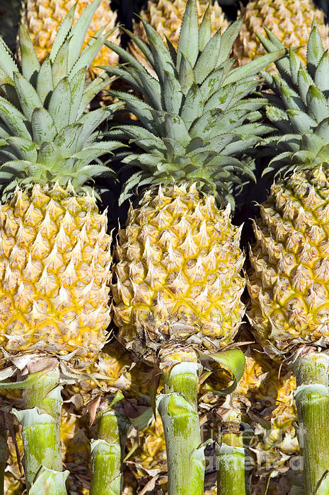 Organic Pineapple  Print by Kevin Miller