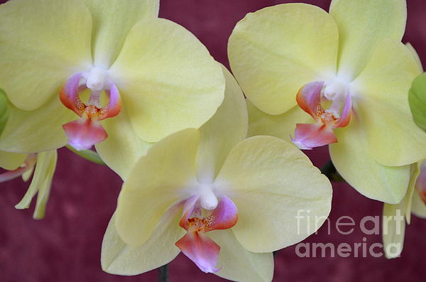 Phalaenopsis Fullers Sunset Orchid - No 2 Print by Mary Deal