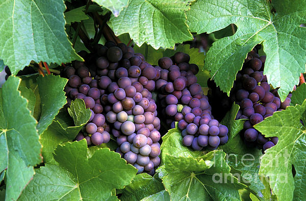 Pinot Gris Grapes Print by Kevin Miller