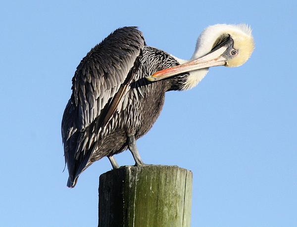 Pretty Pelican Print by Paulette Thomas