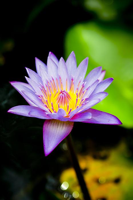 Purple Lotus Print by Raimond Klavins