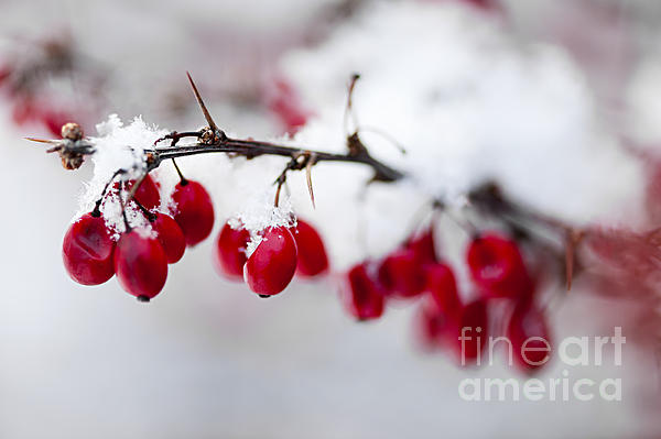 Red Winter Berries Under Snow Print by Elena Elisseeva