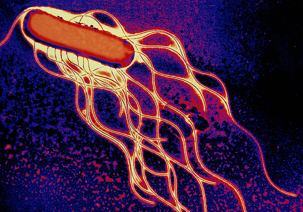 Salmonella Bacterium Print by Science Source