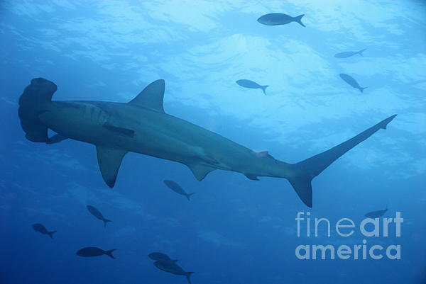 Scalloped Hammerhead Sharks Print by Sami Sarkis