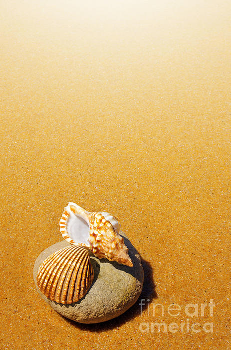 Seashell And Conch Print by Carlos Caetano