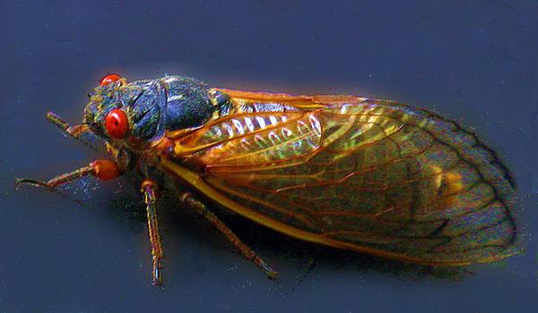 Richard Singleton - Seventeen Year Cicada
