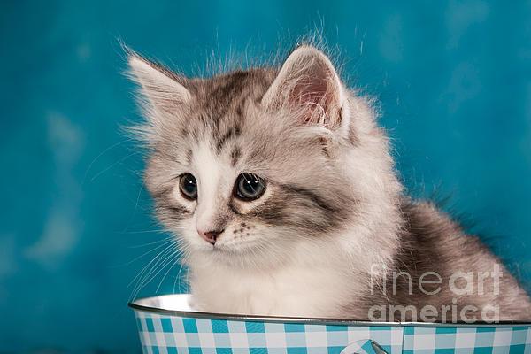 Sibirian Cat Kitten Print by Doreen Zorn