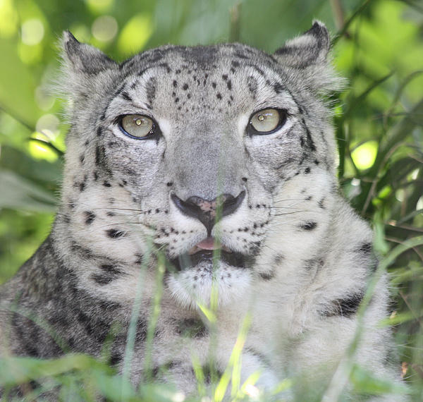 John Telfer - Snow Leopard