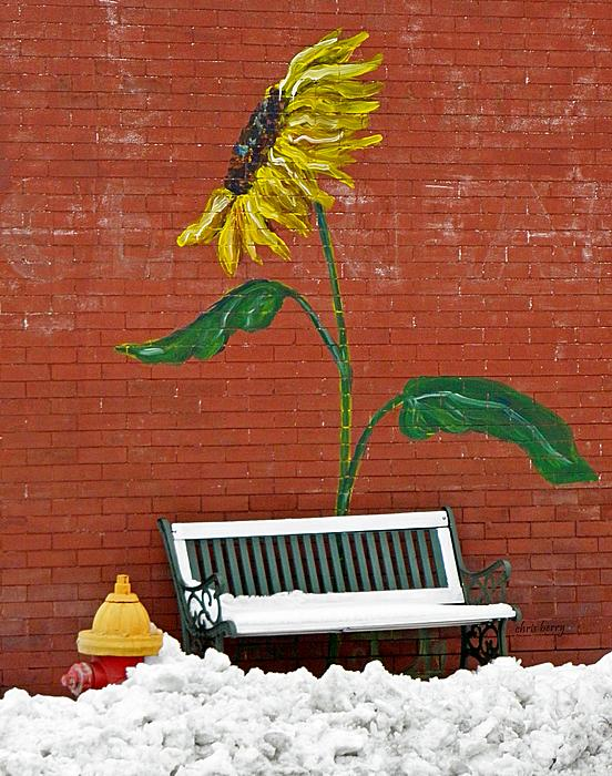 Sunflower And Snow Print by Chris Berry