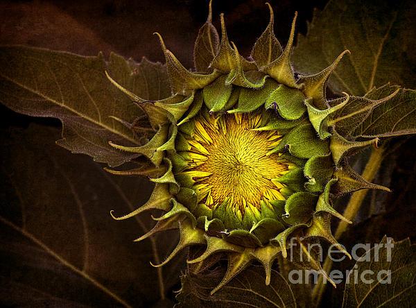 Sunflower Print by Elena Nosyreva