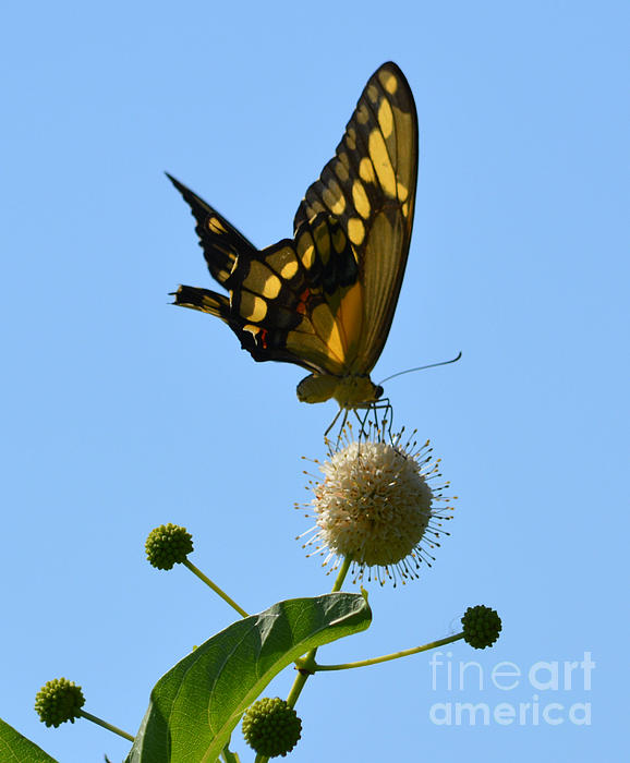Ruth  Housley - Swallowtail Butterfly On Button Bush