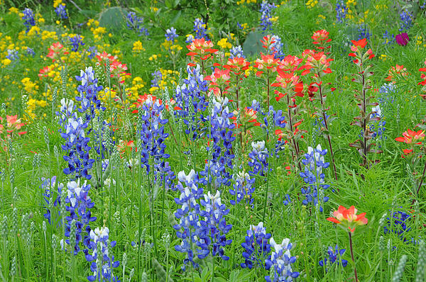Lynn Bauer - Texas Wildflowers