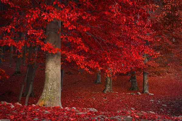 Toma Bonciu - The Red Tree