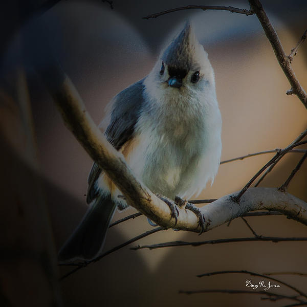 Barry Jones - Tufted Titmouse