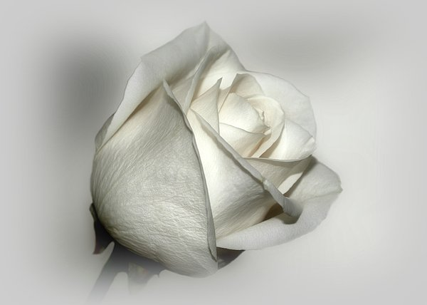 White Rose Print by Sandy Keeton