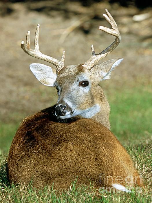 White-tailed Deer Odocoileus Virginianus Print by Millard H. Sharp