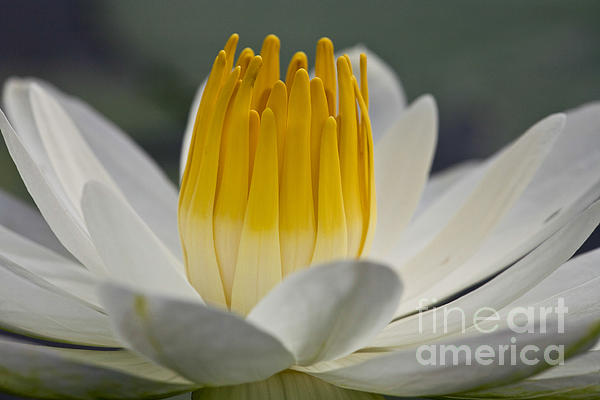 White Water Lily Print by Heiko Koehrer-Wagner