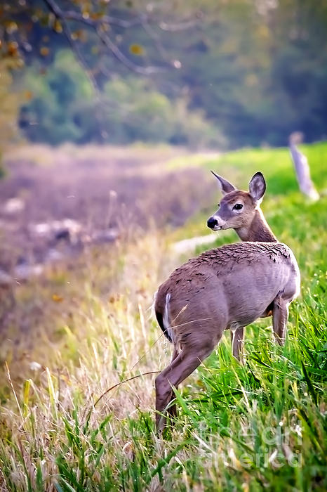 Rick Grisolano Photography LLC - 2014 September Young doe on the Levy