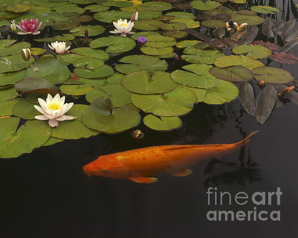 Lawrence Costales - 236 Flowers And Orange Koi