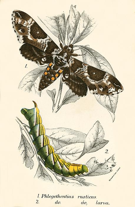 Butterflies Print by English School