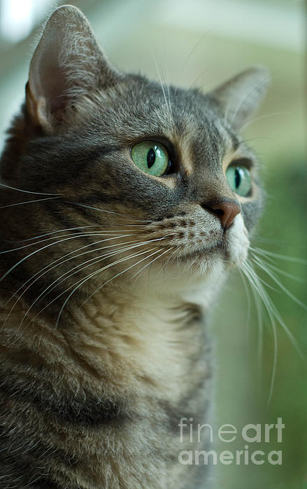 American Shorthair Cat Profile Print by Amy Cicconi