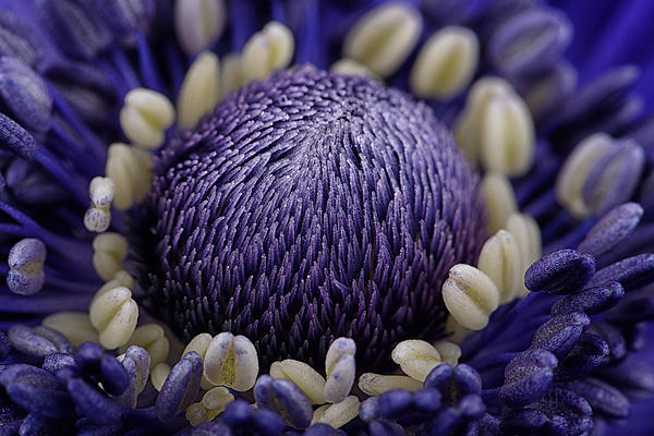 Anemone Print by Mark Johnson