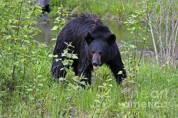 Black Bear Print by Linda Freshwaters Arndt