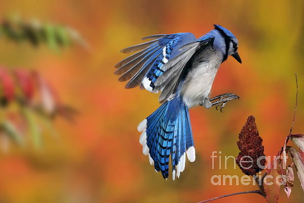 Blue Jay Print by Scott Linstead
