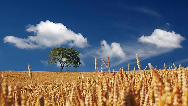 Fields Of Grain Print by Mountain Dreams
