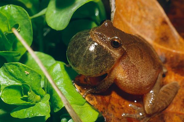 Frog Print by David Davis