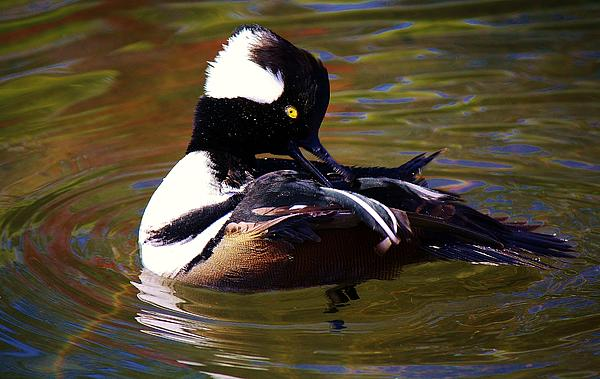 Hooded Merganser Print by Paulette Thomas