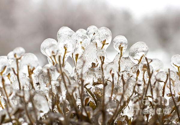 Ice On Branches Print by Blink Images