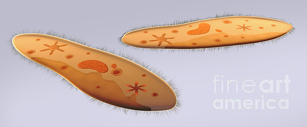Microscopic View Of Paramecium Print by Stocktrek Images