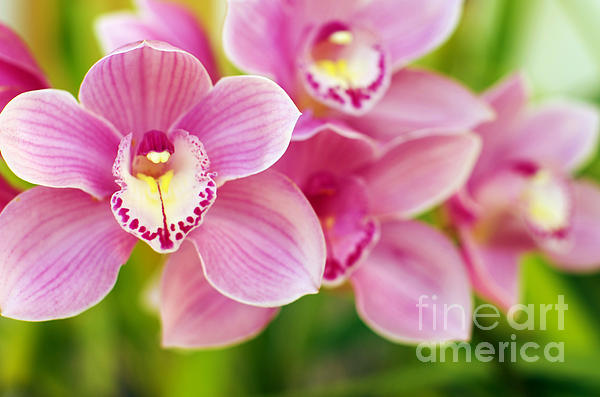 Orchids Print by Carlos Caetano
