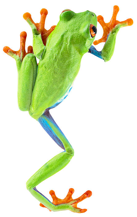 Red Eyed Tree Frog Print by Dirk Ercken