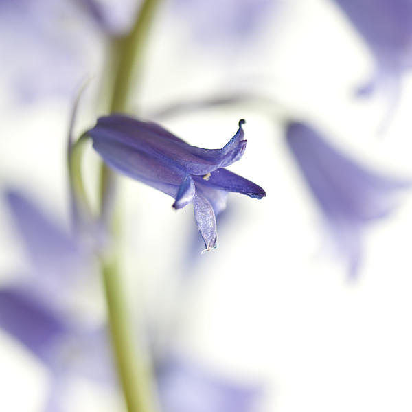Spring Bluebells Print by Carol Leigh
