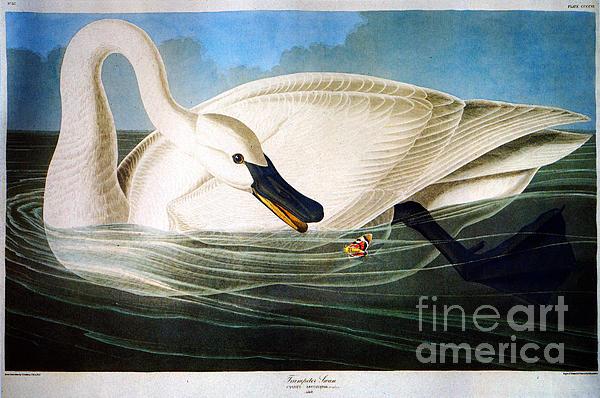 John James Audubon - Trumpeter Swan