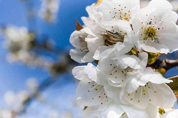 White Cherry Blossoms Blooming In The Springtime Print by Nila Newsom