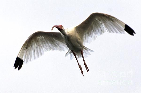 White Ibis Print by Mark Newman