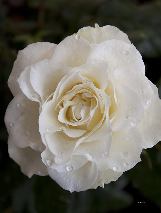 White Rose Print by Ivete Basso