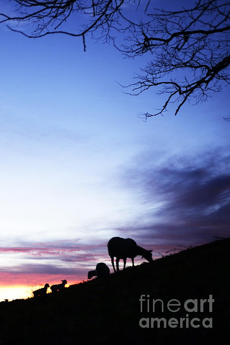 Winter Lambs And Ewes Sunrise Print by Thomas R Fletcher