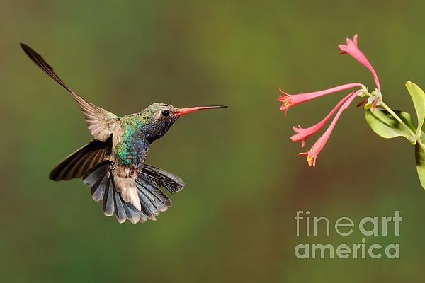 Broad Billed Hummingbird Print by Scott Linstead