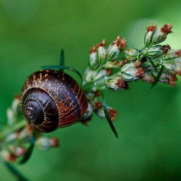 Copse Snail Print by Jouko Lehto
