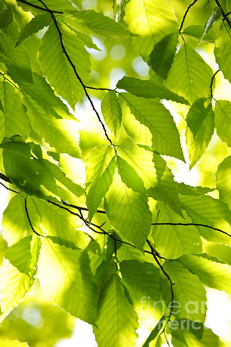 Green Spring Leaves Print by Elena Elisseeva